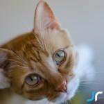 Ginger Cat Simba Close up photo