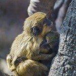 Talopoins small monkeys