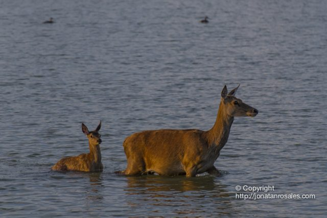 Fawn and Hind walking on the wetlands