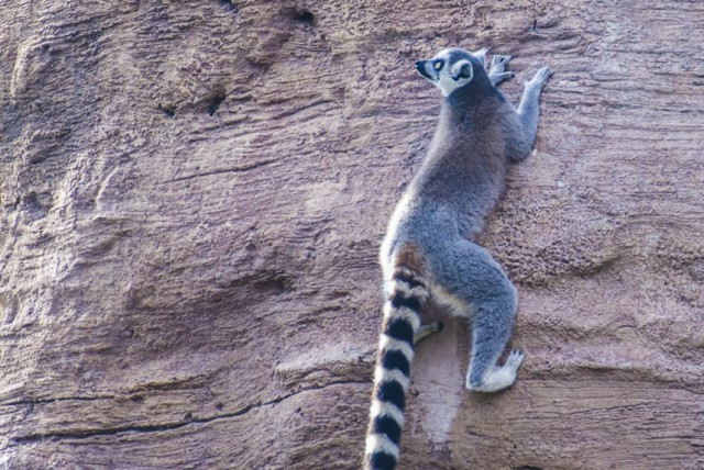 Lemur climbing on a three