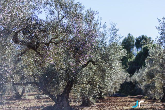 Olive Threes in Refugio de Juanar