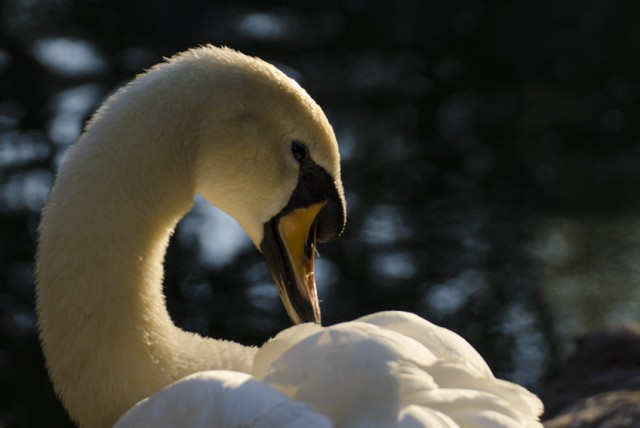 Swan photo parque de la paloma sunset light